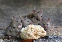 Do Pet Mice Fart?