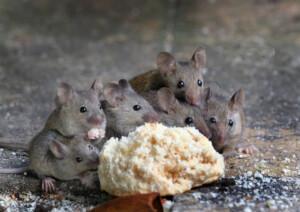 mice family eat