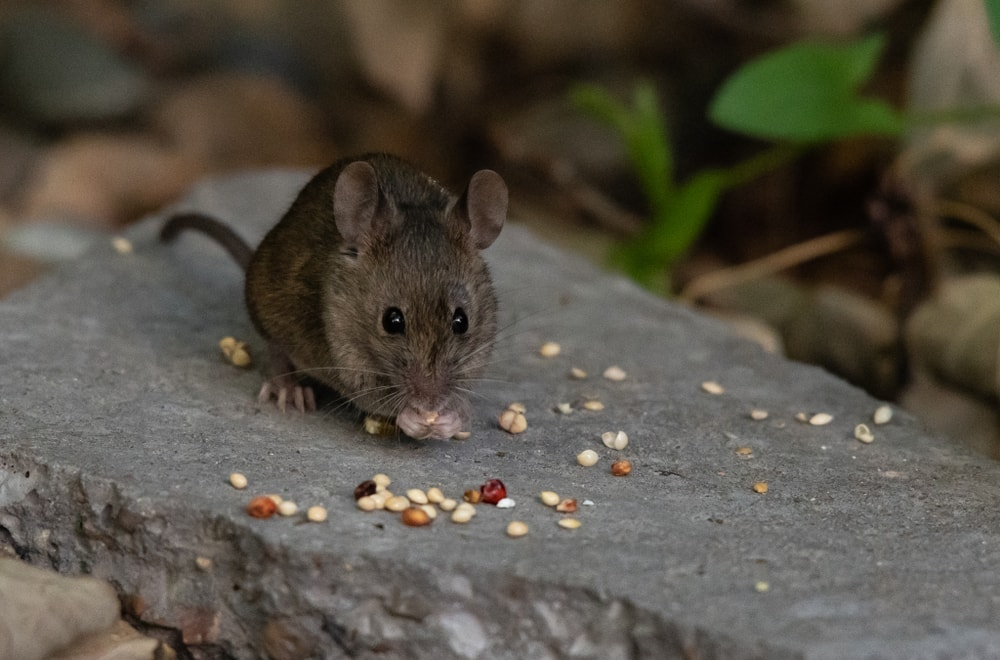 mouse eat seeds