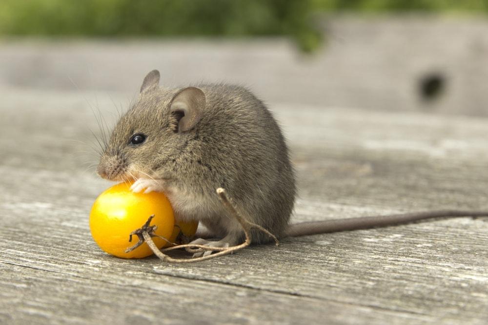 mouse eat tomato