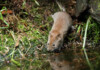 Can Pet Mice Swim?