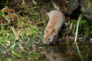 mouse near water