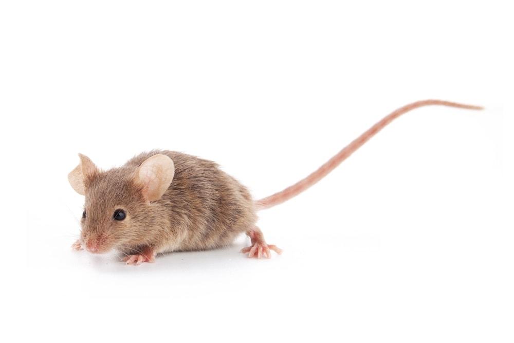mouse white bg