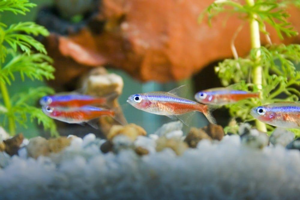 neon tetras in an aquarium
