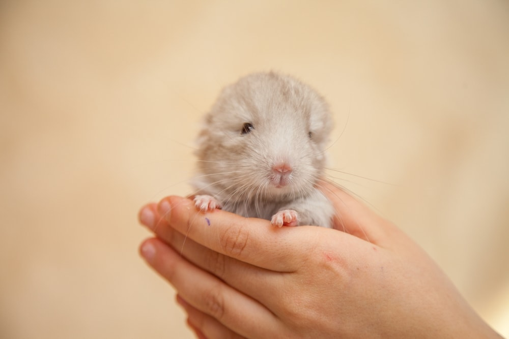 newborn chinchilla