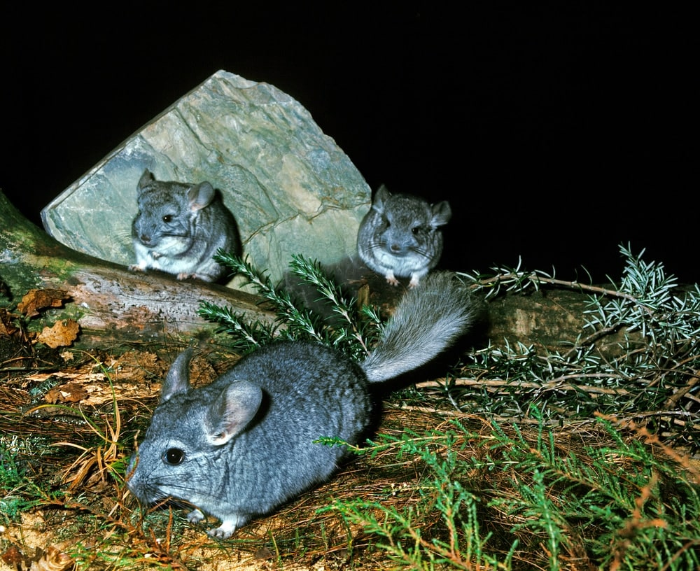 night wild chinchilla