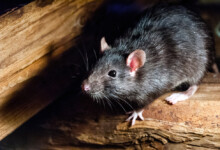 What Is The Average Lifespan of Pet Rats?