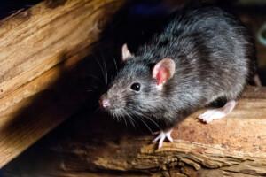 old rat