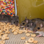 5 Great Treats to Give your Pet Mouse
