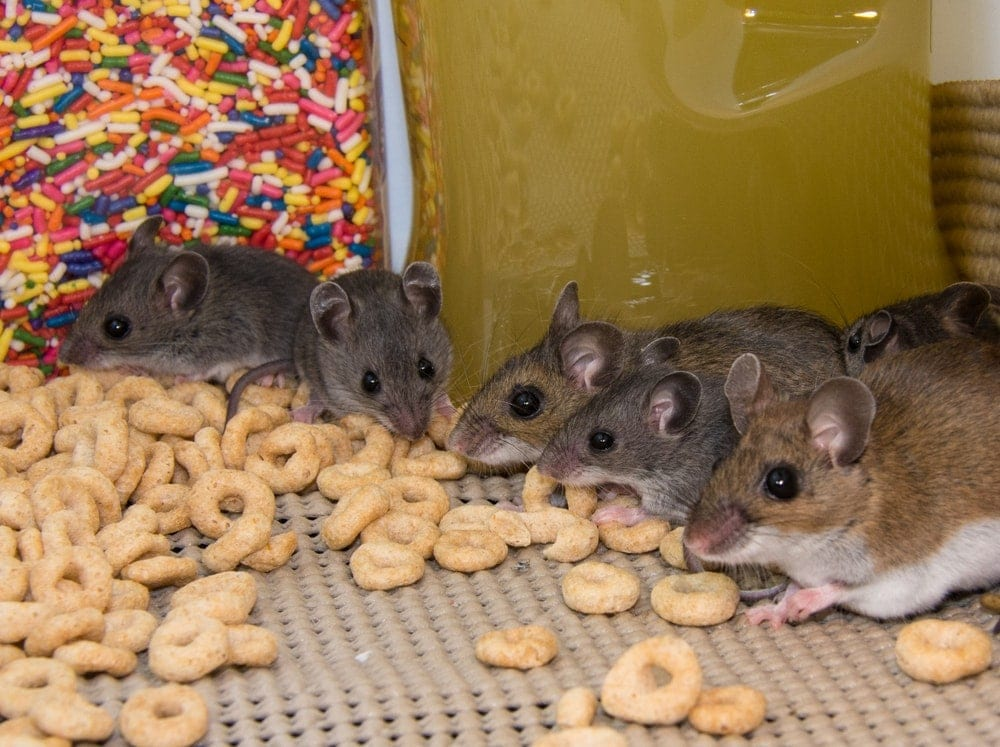 pet mice get treats