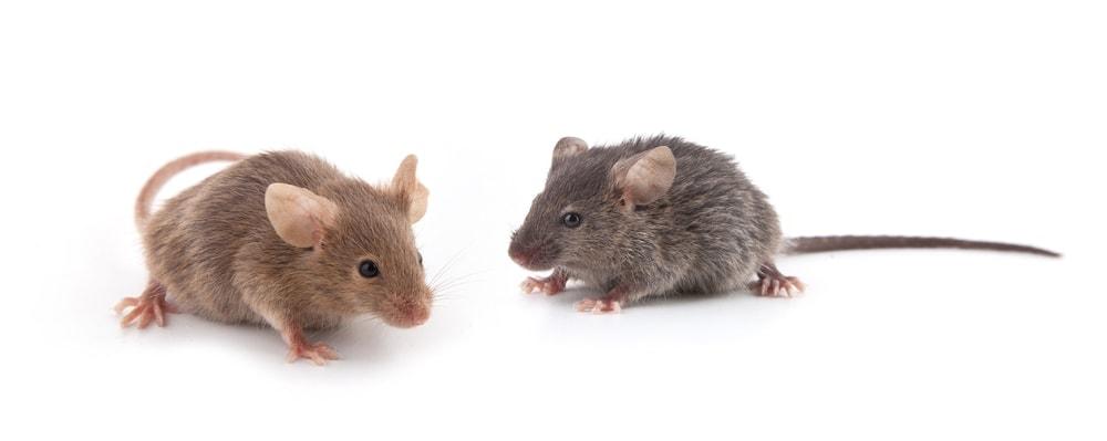 Do Mice Make Good Pets?