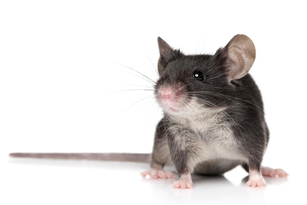 pet mouse 2