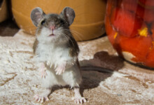 How Long Do Pet Mice Live on Average?
