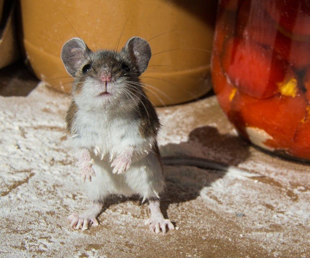 pet mouse 3