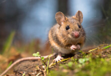 Average Pet Mouse Size & Information