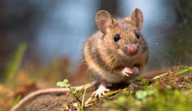 pet mouse 4