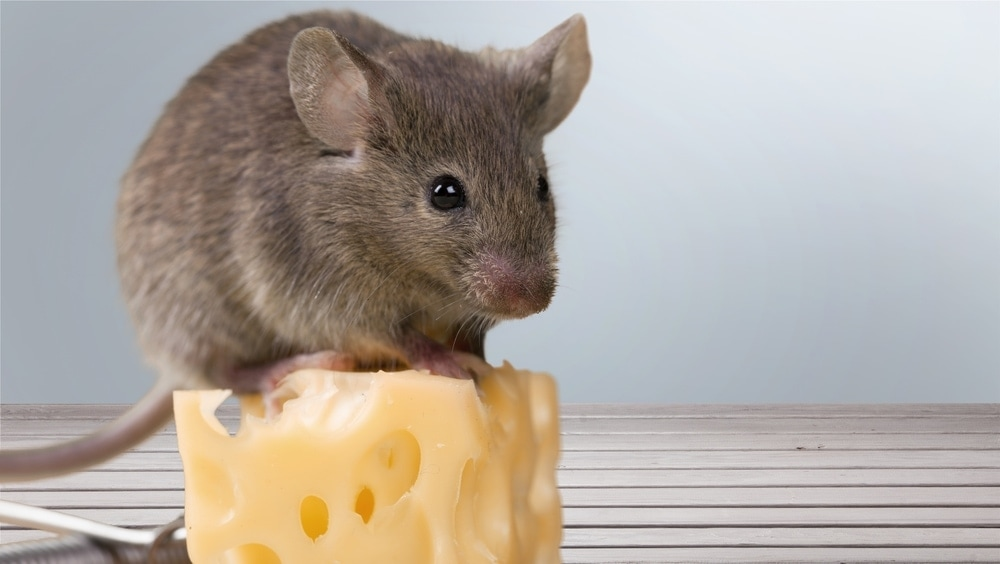 pet mouse cheese