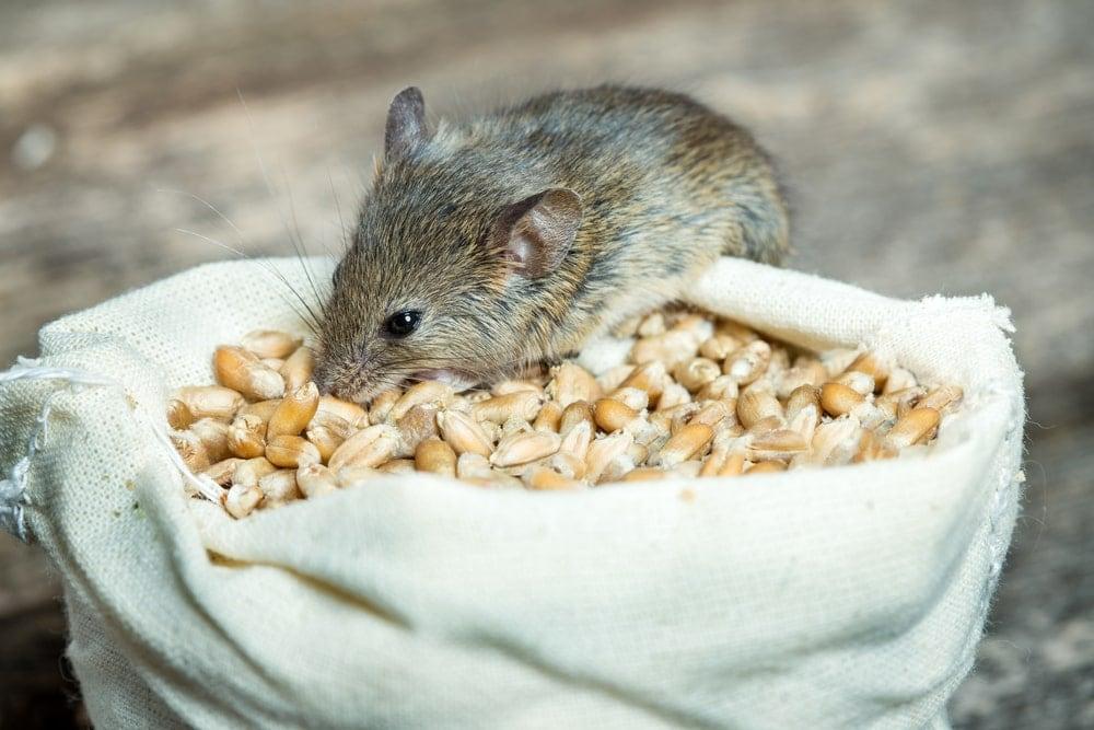 pet mouse eat