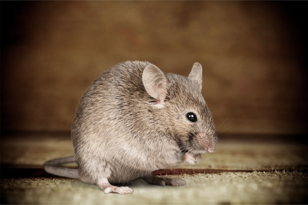 pet mouse eating 2