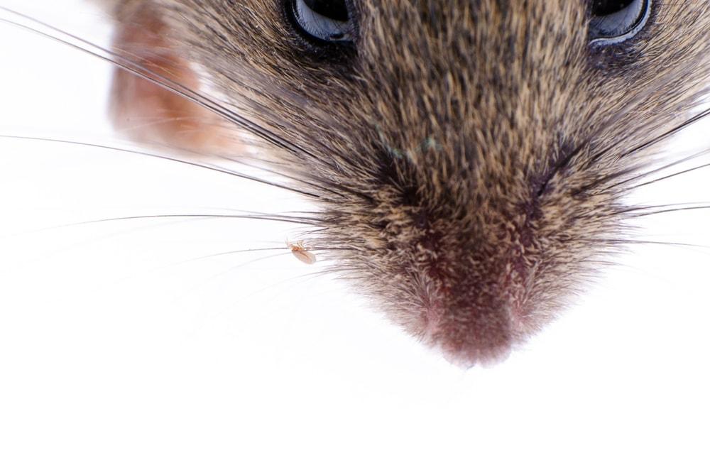 pet mouse fleas