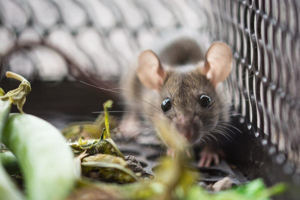 pet mouse in cage 1