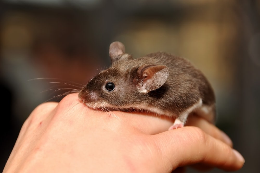 pet mouse on hand