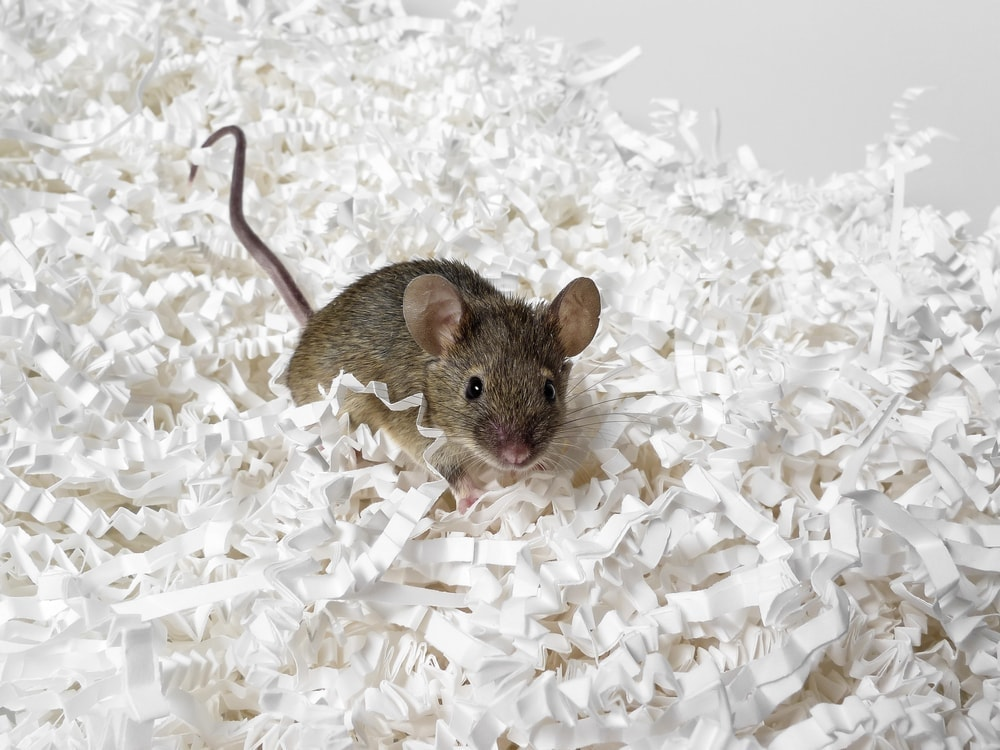 pet mouse on white paper