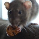 6 Best Treats for Pet Rats