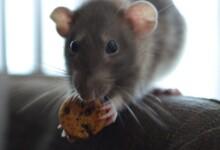 6 Best Treats for Pet Rats