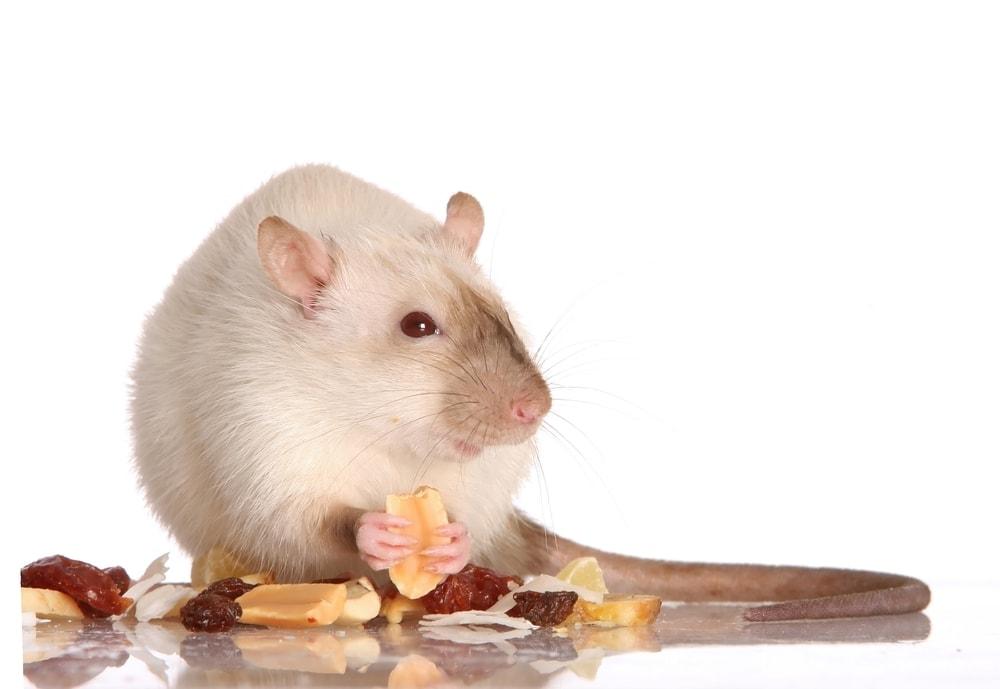 pet rat eating treats