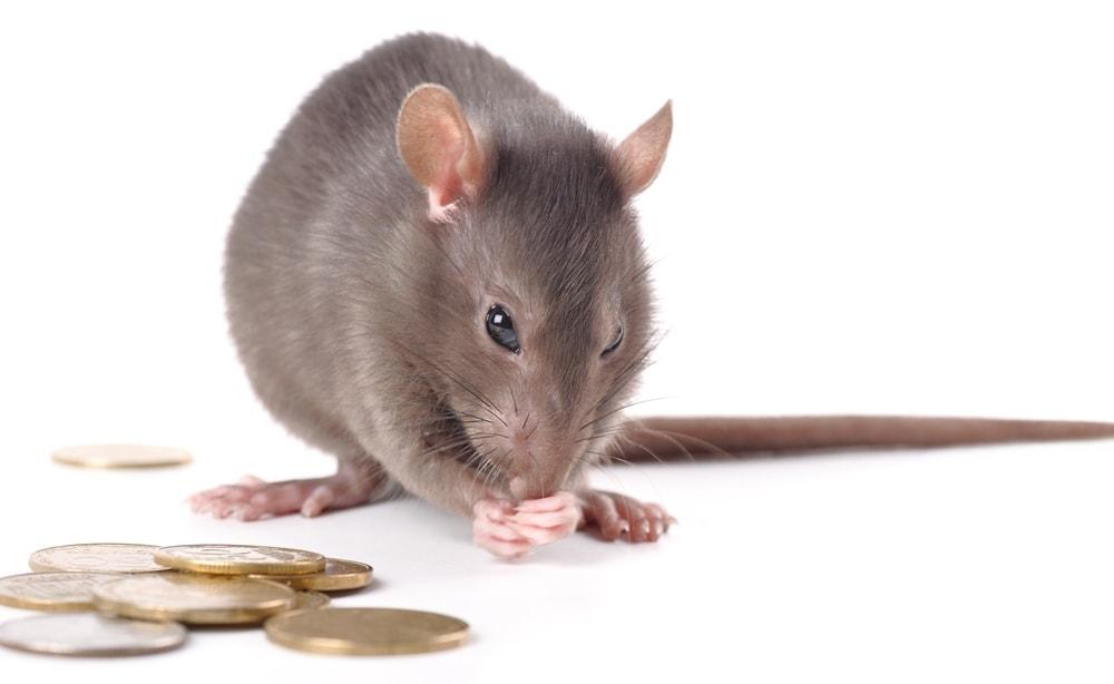 pet rat money
