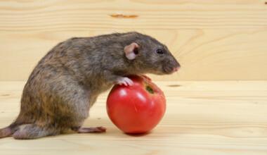 pet rat rolling tomato