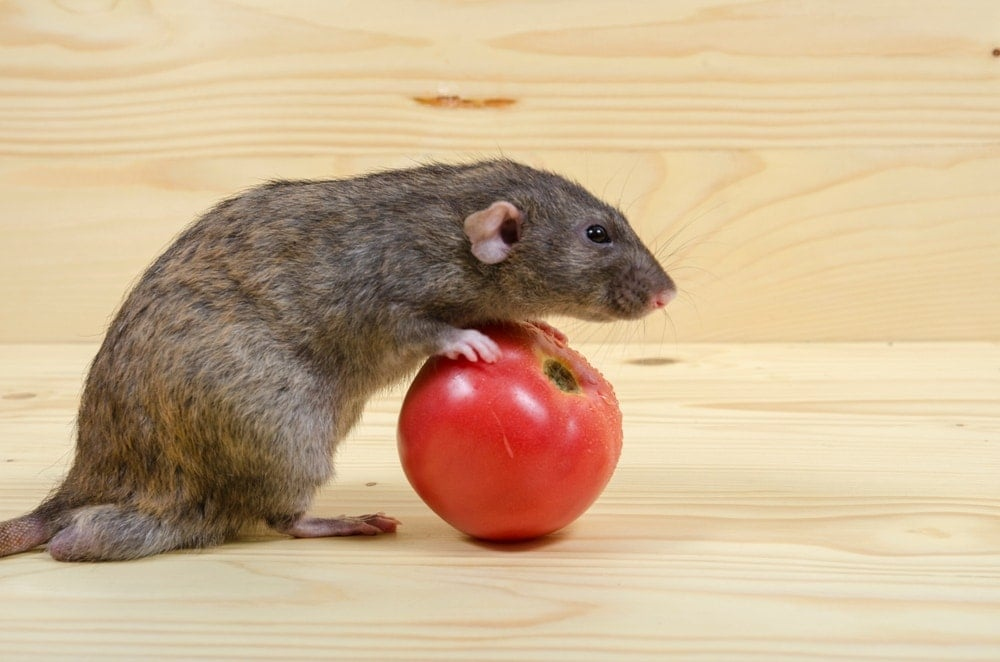 Can Pet Rats Eat Tomatoes?
