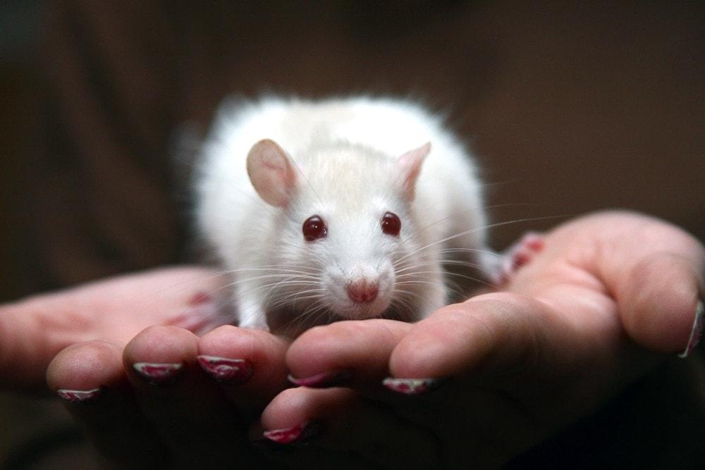 pet rat sitting hand