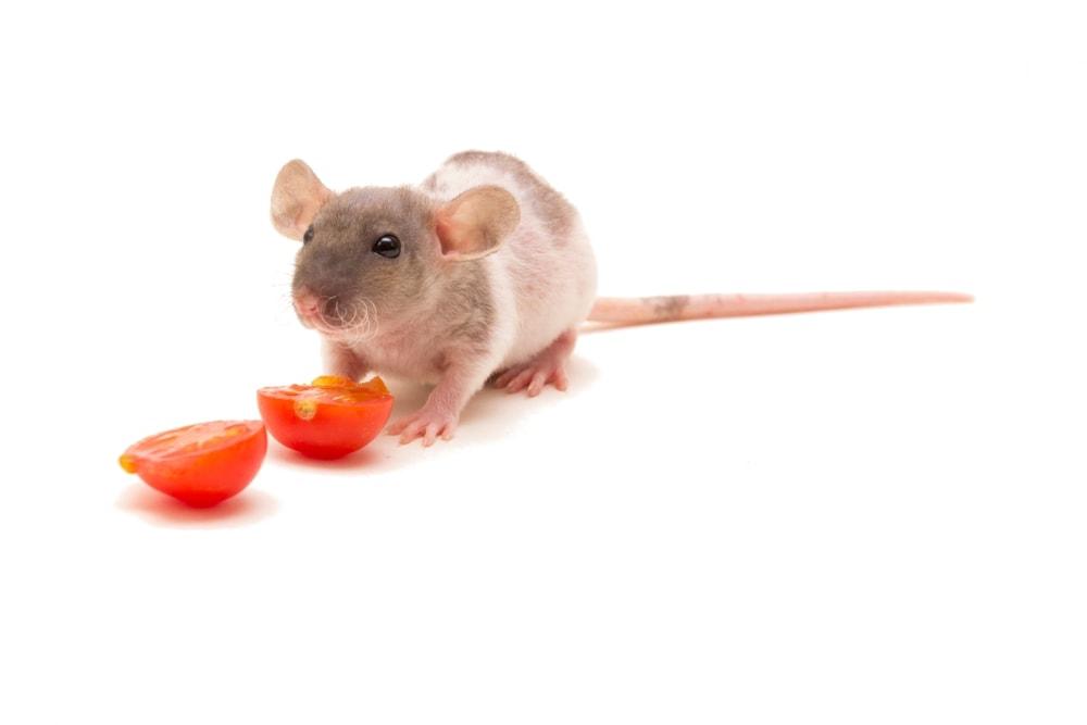 pet rat tomato