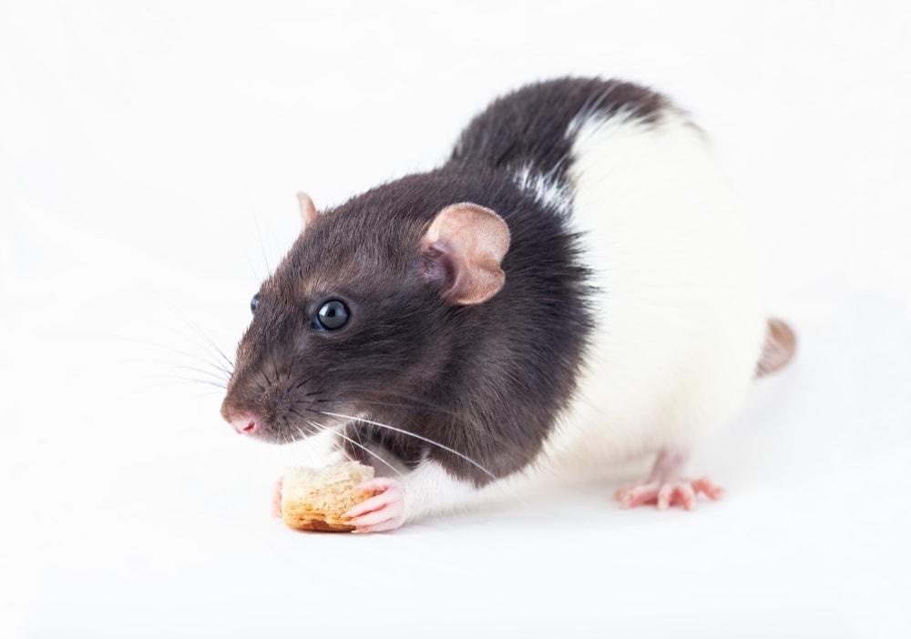 pet rat treats