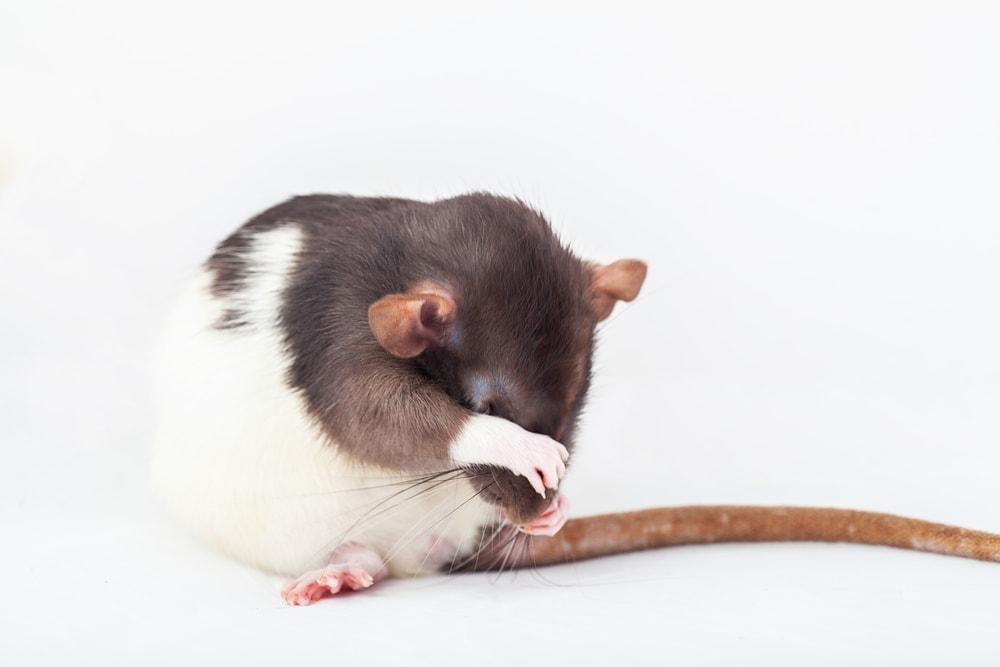 pet rat wash