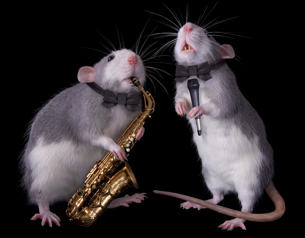 pet rats playing music
