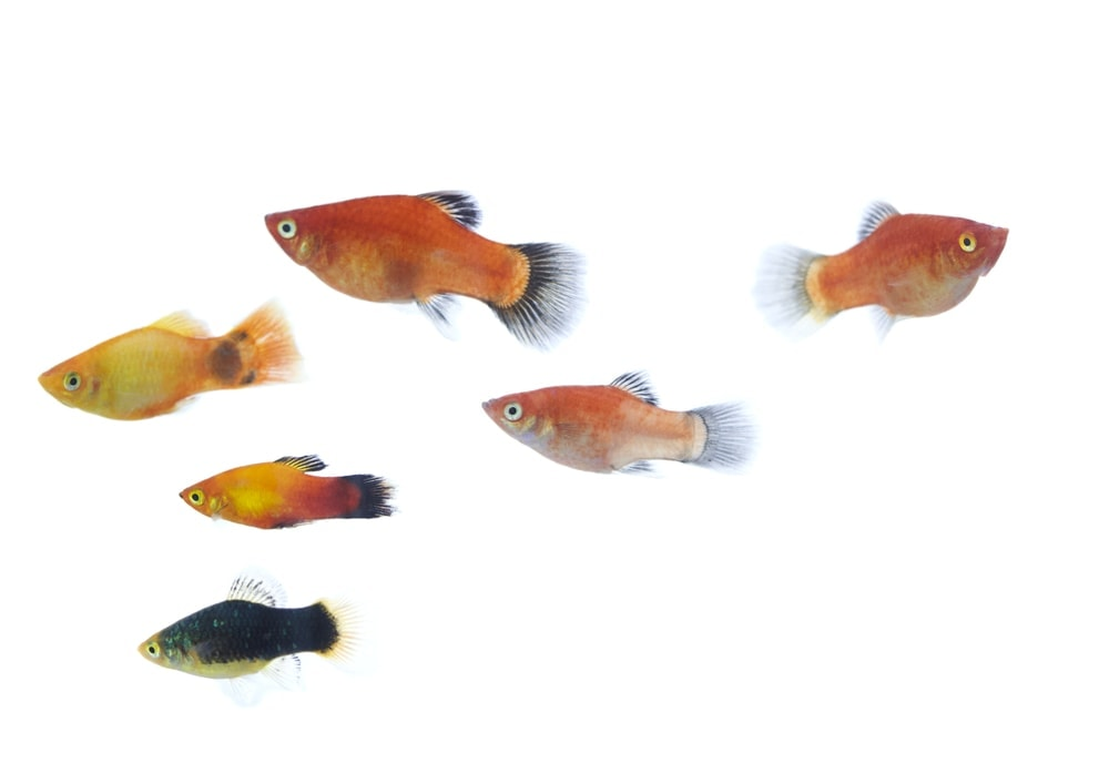 platy plenty fish