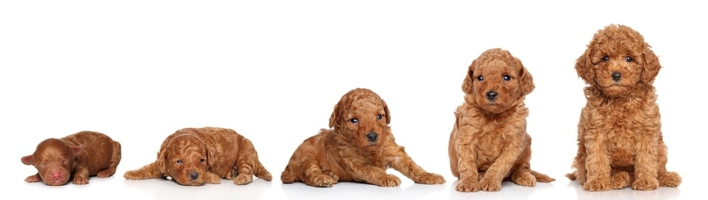 Puppy Weight Calculator - How Big Will My Puppy Get?