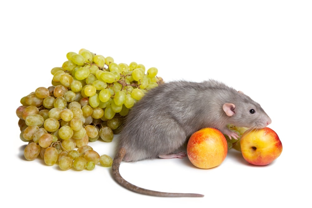 rat and grapes 1