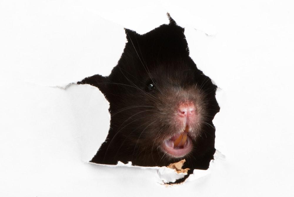 rat bites 1