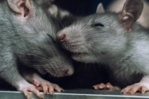 rat cute couple
