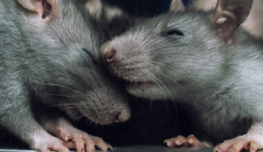 rat cute couple