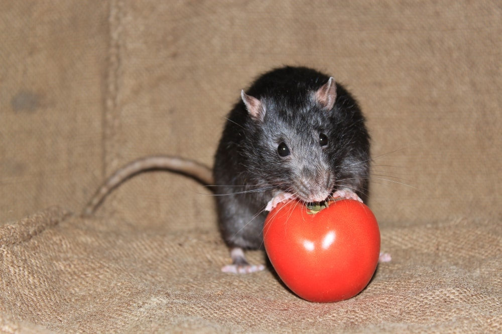 rat eat tomatoe