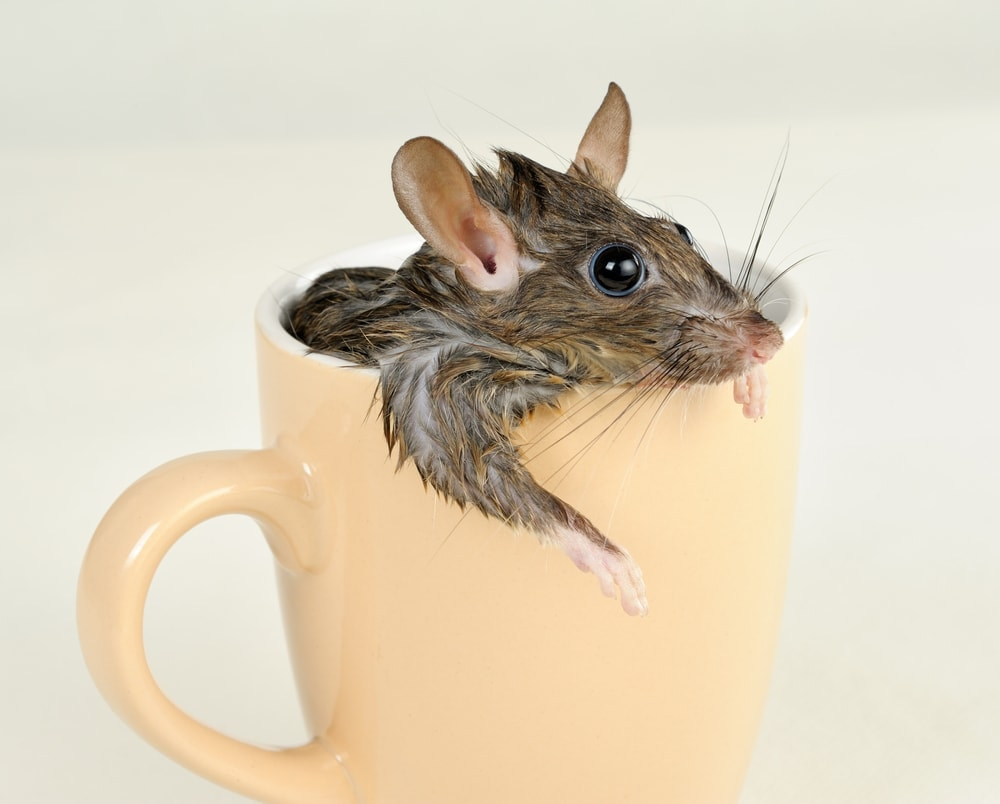 rat in a cup