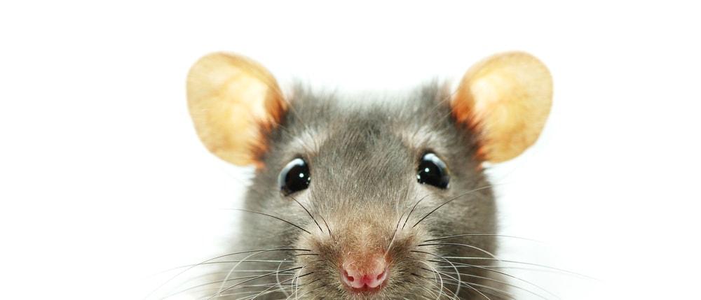 rat portrait 1