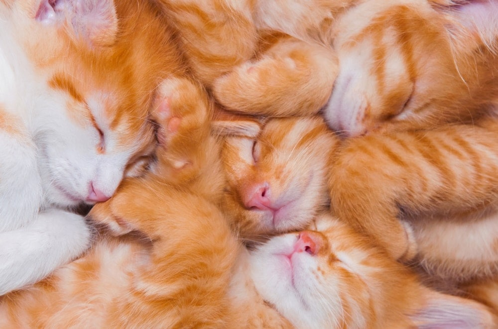 red kittens sleeping