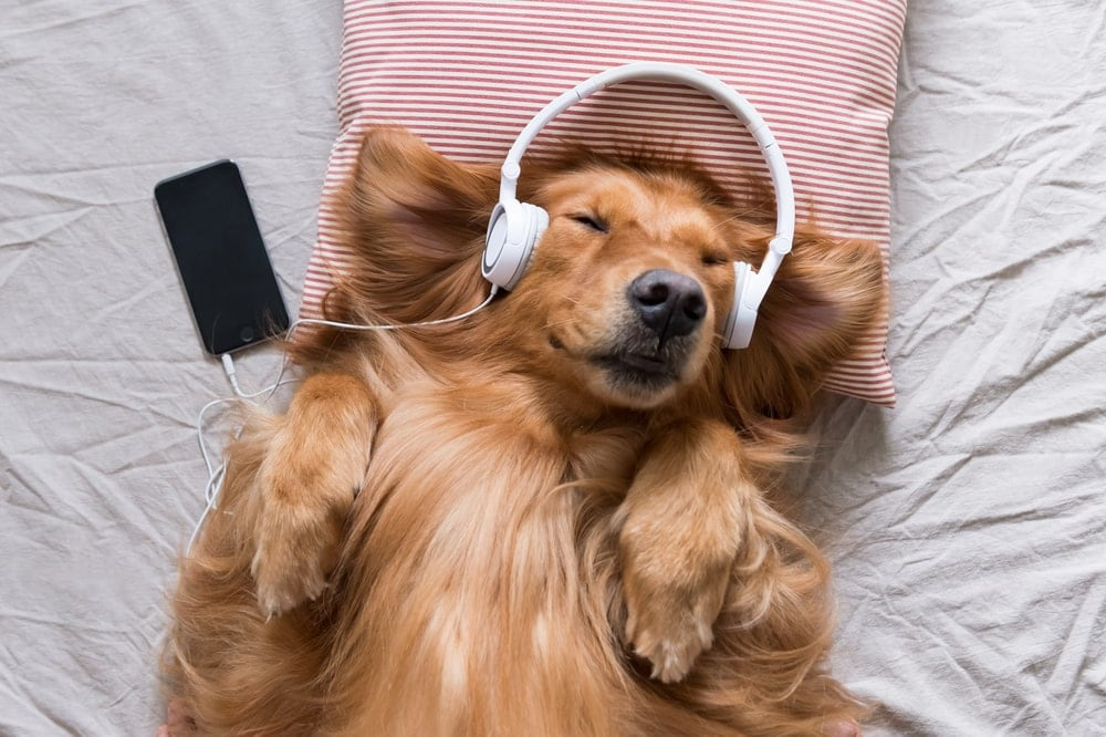 retriever in headphones
