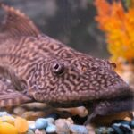 Rubber Lip Pleco Care Guide - Diet, Breeding & More